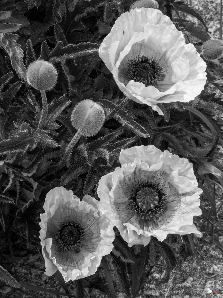 Guinness Poppies